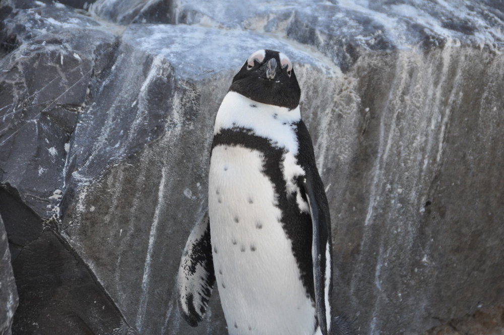 A penguin shows his disdain for visitors to his neighborhood near the Simon's Town Harbor.