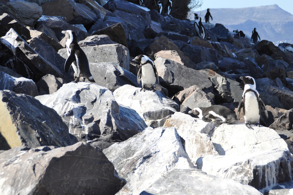 Penguins on the rocks near the Simon's Town Harbour.