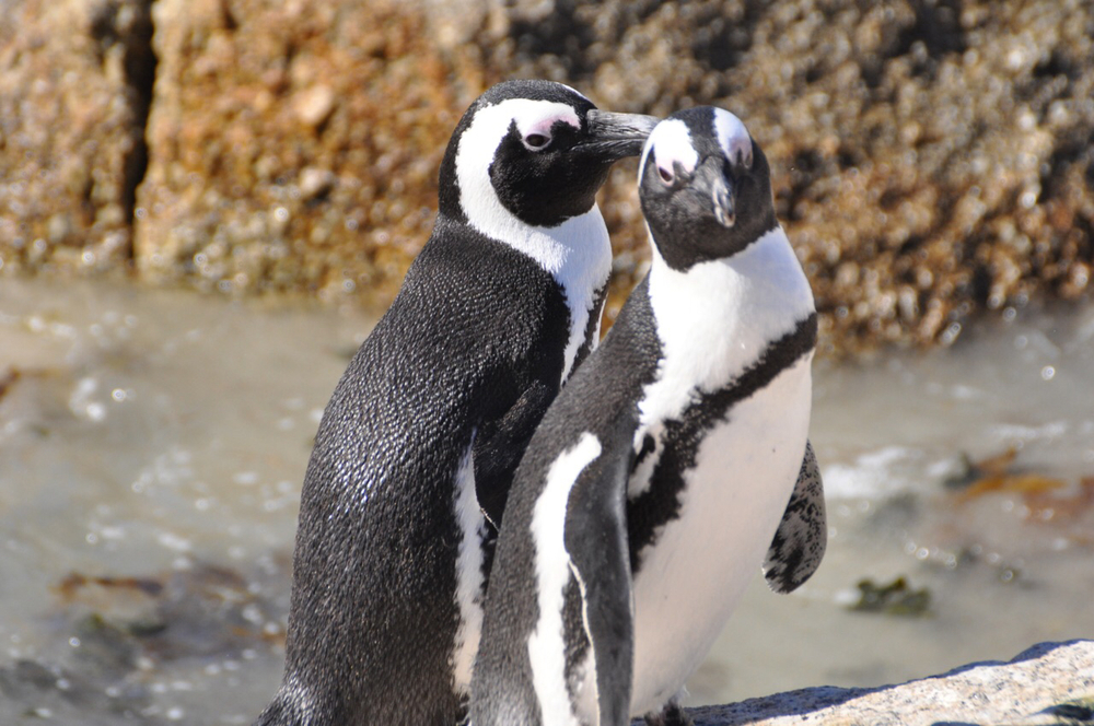 A close-up of two African Penguins.
