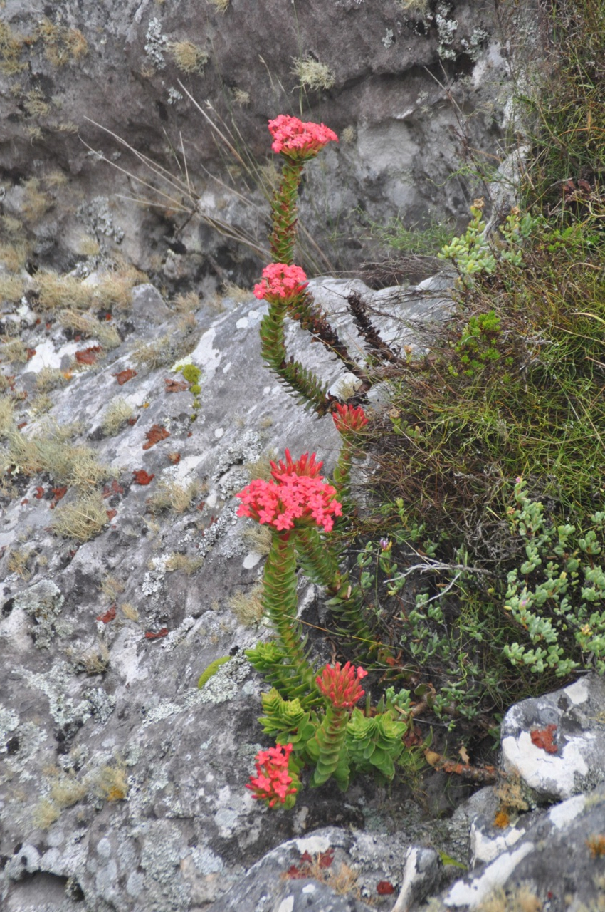 Colorful flowers that grow on the summit of Table Mountain.