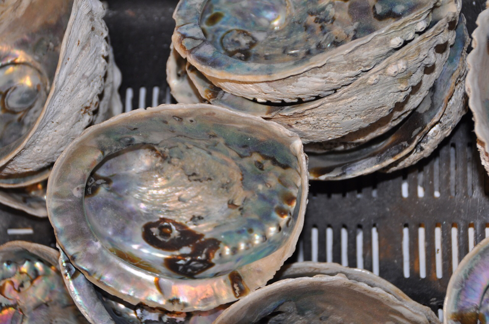 Mother of Pearl abalone shells for sale at Abagold.