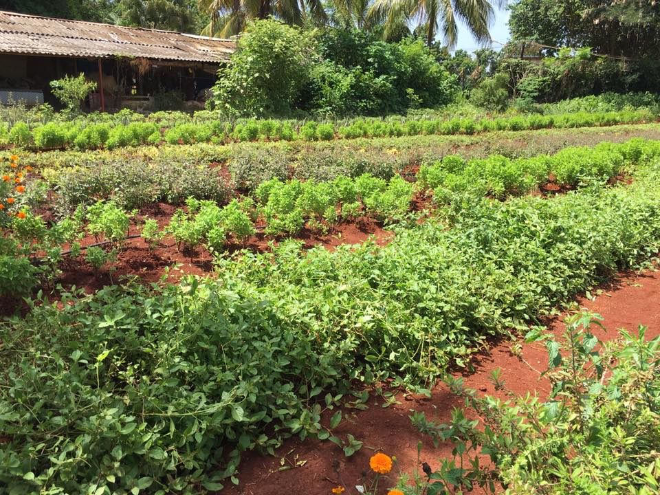 Farm or Garden? - We visited a primitive organic farm outside of Havana that grows corn, sugarcane, basil, oregano, sunflowers and more. It's more of a huge community garden that is one of their main food sources.