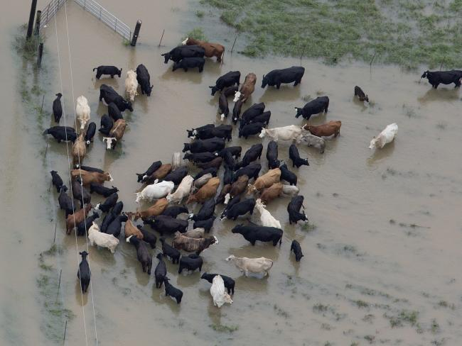 Cattle huddle together in flood waters near Hammond, Louisiana.  Photo by Associated Press.