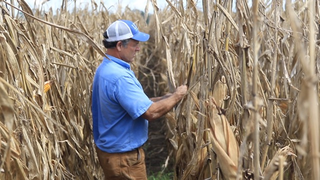 Donald Schexnayder surveys damage to his corn crop in West Baton Rouge parish after heavy rainfall and historic flooding in August. Total agricultural losses from the flooding have topped $277 million.
