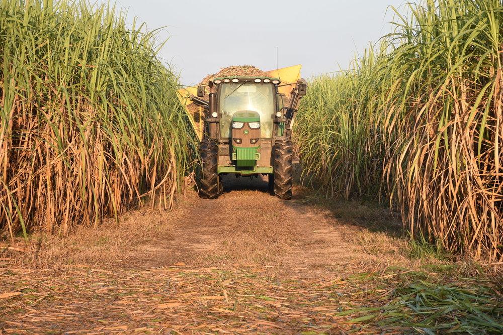 cane harvest.JPG