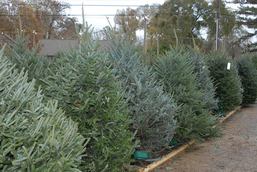 Garden centers offer a variety of cut Christmas trees for sale. LSU AgCenter experts recommend being sure to choose a fresh tree that's right for your location. (Photo by Rick Bogren, LSU AgCenter)