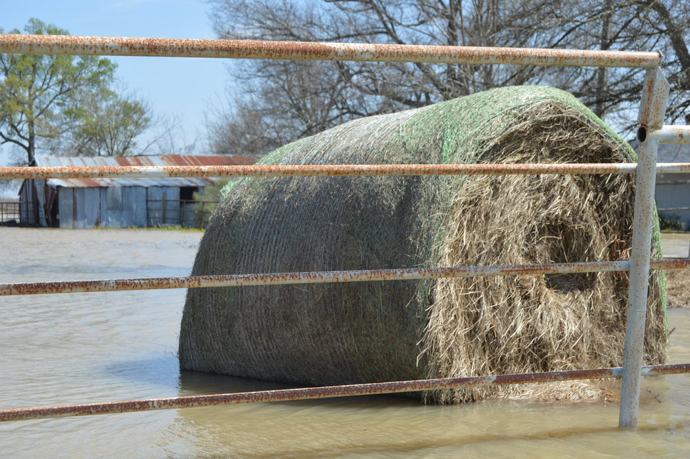 Hay bale in a flooded pasture in western West Carroll Parish