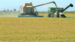 rice farming.jpg
