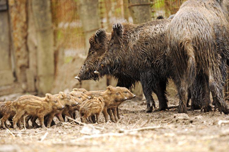 feral hogs.jpg