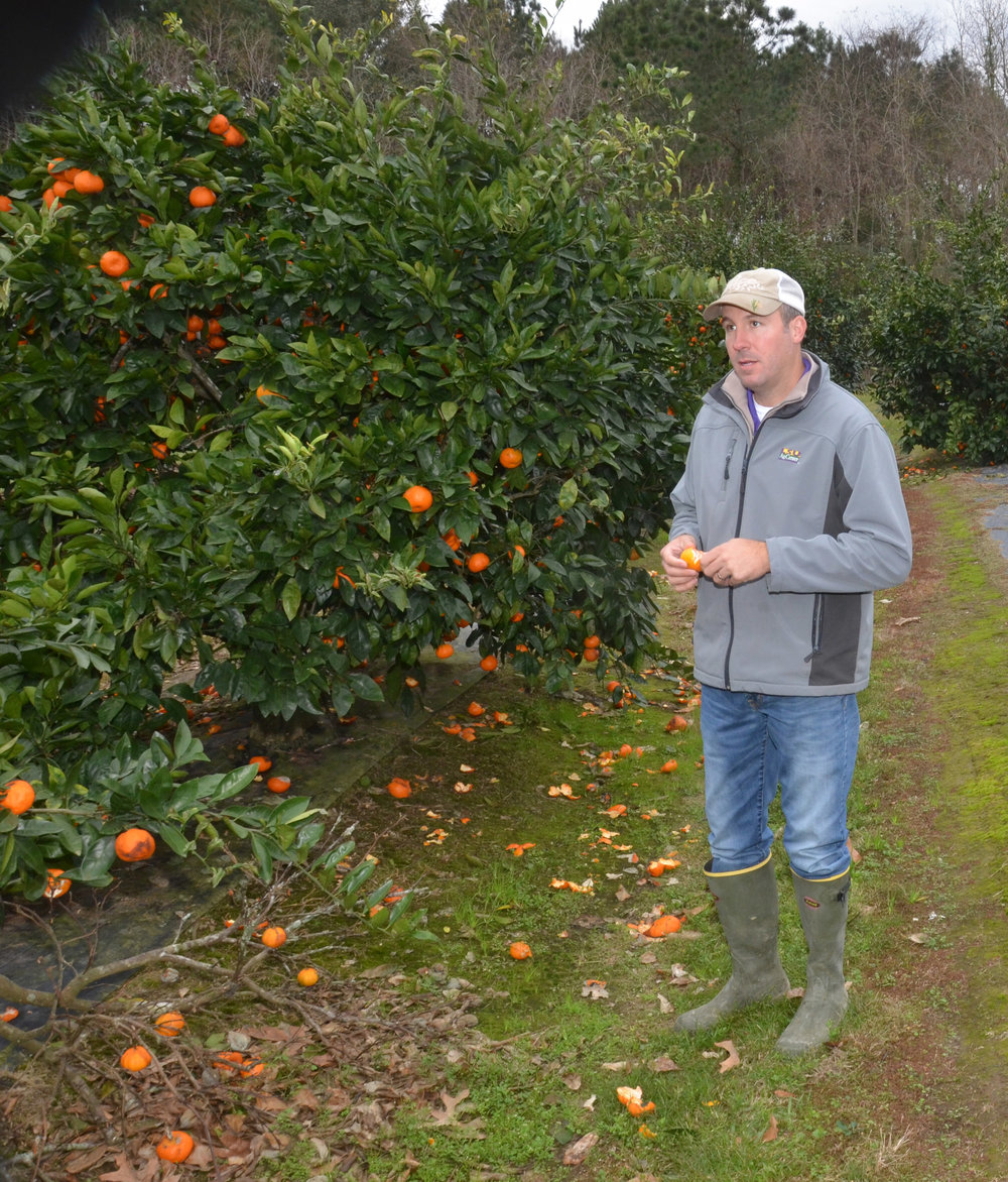 Jeremy Hebert, LSU AgCenter horticulture agent in Acadia Parish, inspects a satsuma tree. Hebert said the sudden freeze in January has caused citrus trees to lose their leaves and fruit, but the trees should survive. Photo by Bruce Schultz/LSU AgCenter