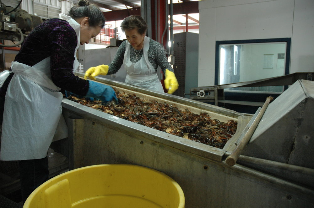 Crawfish are processed at Tony's Seafood in Baton Rouge.