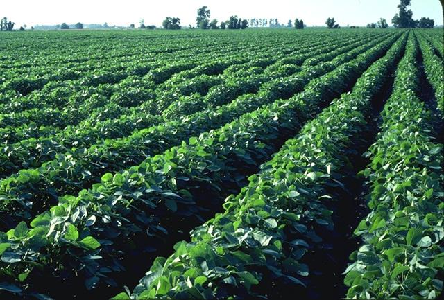 soybean-field.jpg