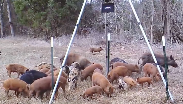 The Louisiana feral hog population is estimated at over 500,000 and growing.