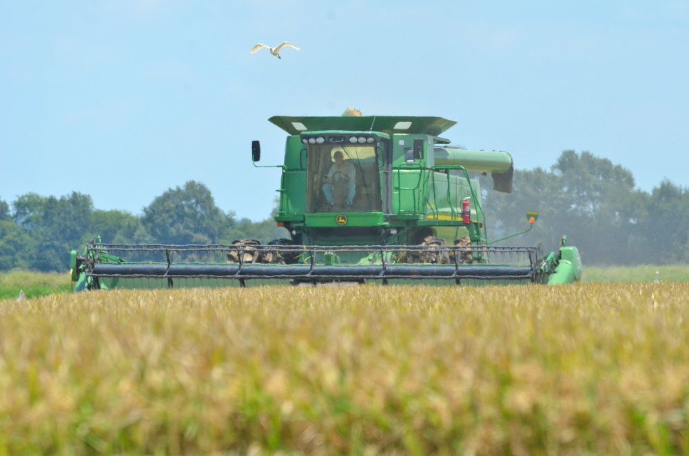 A combine harvests rice near Crowley, Louisiana. This year's crop won't set any records after a growing season with excess rainfall that has stretched into the harvest, making field conditions difficult to cut rice. Farmers in who have not finished harvesting their crop are anxiously watching Hurricane Harvey. Photo by Bruce Schultz/LSU AgCenter