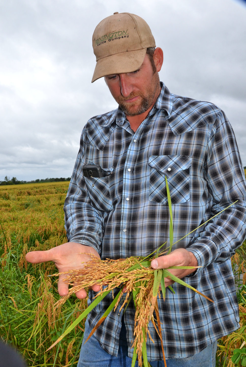 Farmer Adam Habetz examines panicles of rice from his farm near Vinton, Louisiana. The rice was starting to sprout after being wet, but not flooded, from heavy rainfall brought by Tropical Storm Harvey. Photo by Bruce Schultz/LSU AgCenter