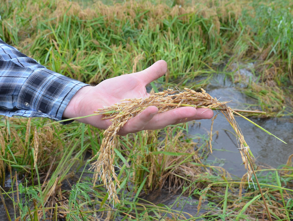 Handful of sprouted rice. Photo by Bruce Schultz/LSU AgCenter