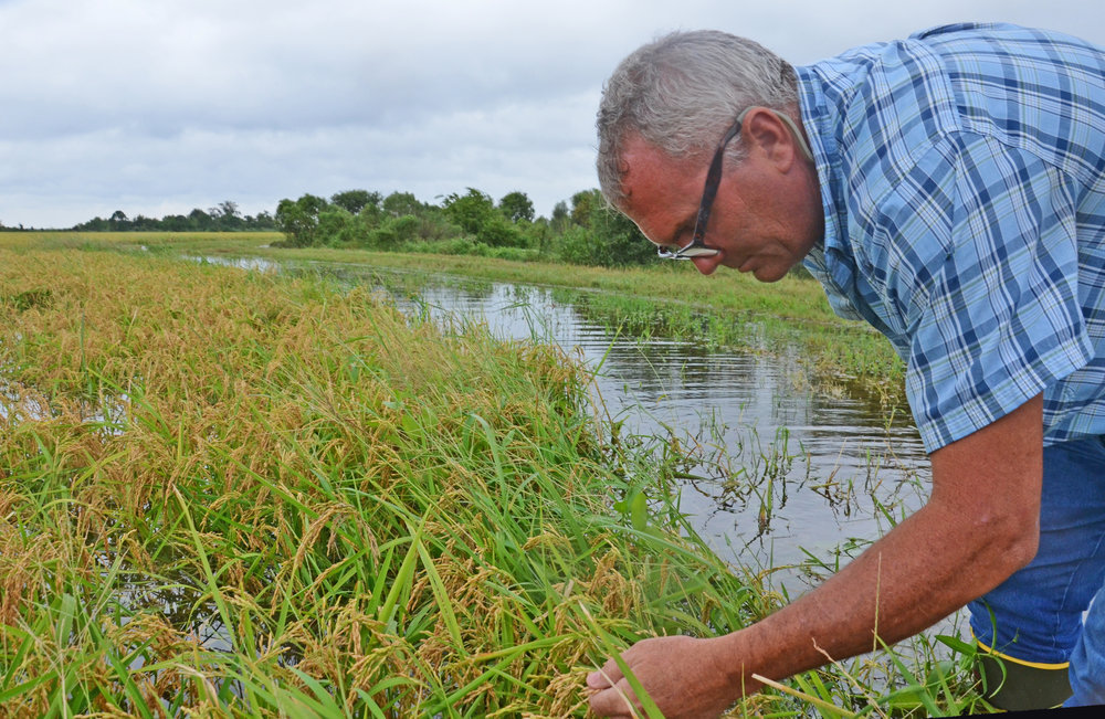 Farmer Fred Habetz, of Vinton, Louisiana, examines his rice crop near the Louisiana-Texas line. Some of the rice had begun to sprout in this field but fields that were not as mature had not started showing signs of sprouting as a result of rain from Tropical Storm Harvey. Photo by Bruce Schultz/LSU AgCenter
