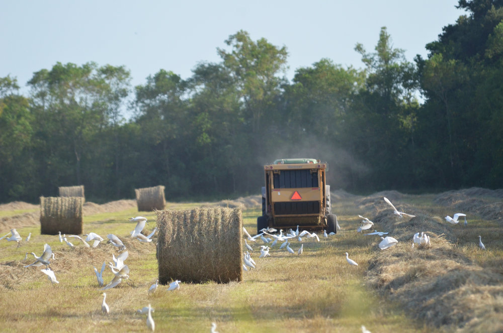 A farmer bales hay near Abbeville. Cattle owners have taken advantage of the current dry spell to cut hay fields. For many, this has been the first time they were able to get into the fields because of excessive rainfall. Photo by Bruce Schultz/LSU AgCenter