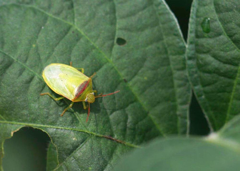 Red Banded Stink Bug 2.jpg