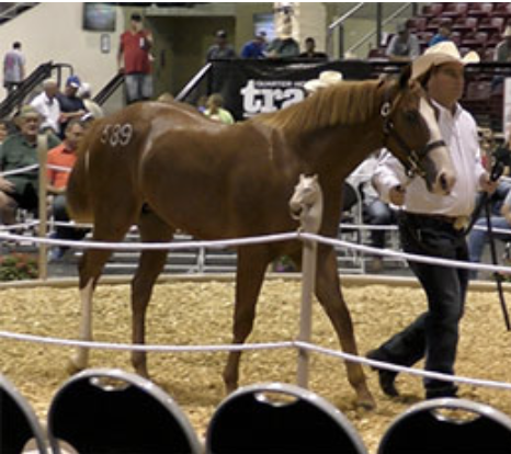 Hip 589 Moonocracy became the all-time high selling Quarter Horse yearling in Louisiana on Saturday when Watson Land & Cattle Co. paid $210,000 for the colt by champion Apollitical Blood
