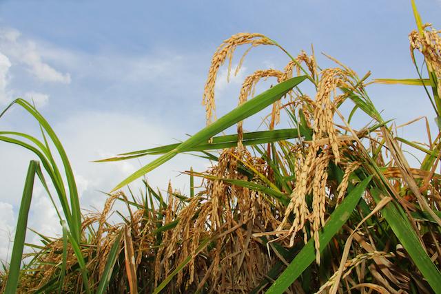 Rice Stalk.jpg