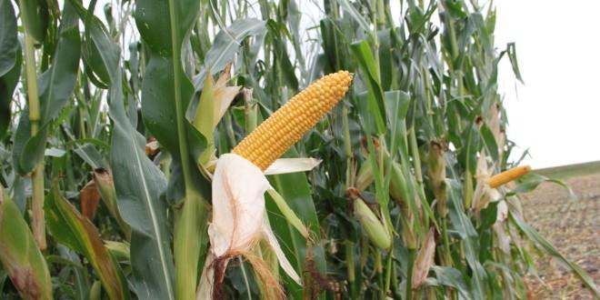 Corn-Pic-660x330.jpg