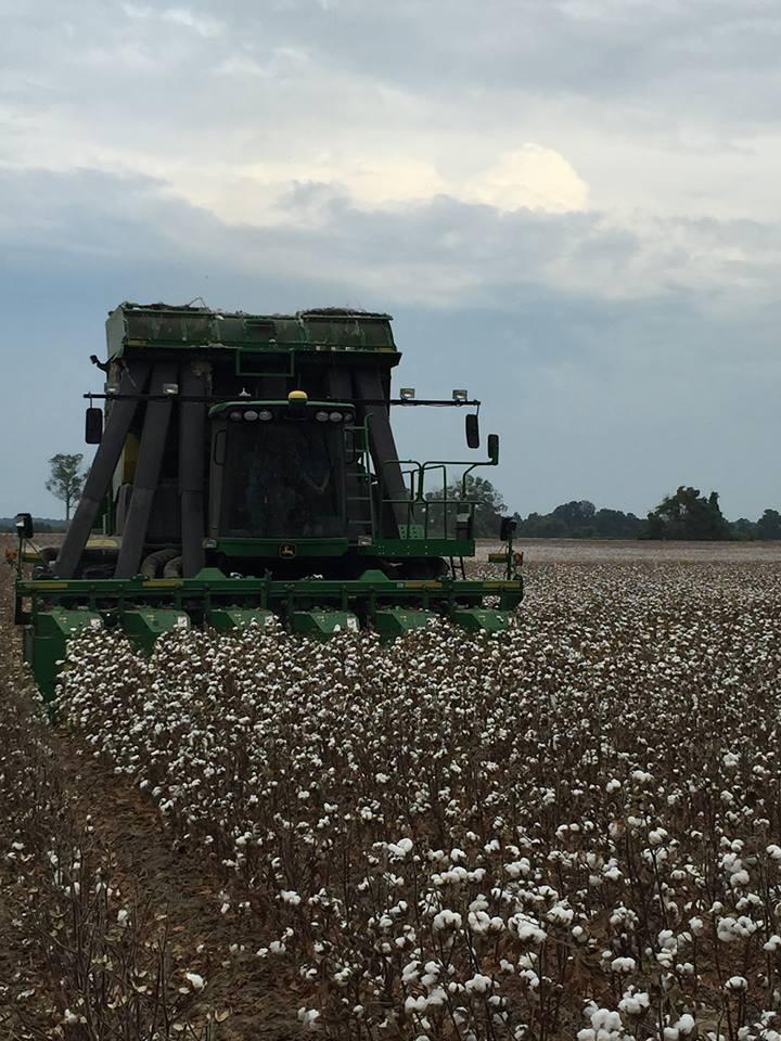 cotton picking in LA.jpg