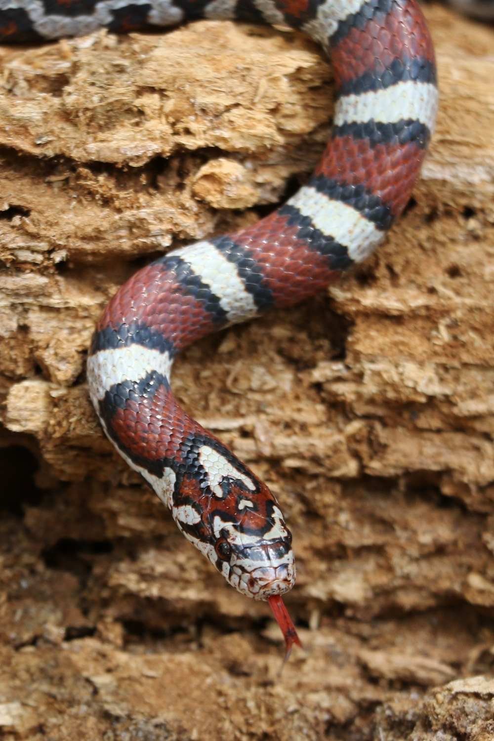 Coastal Plains Milksnake