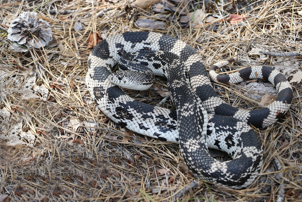 Northern Pinesnake
