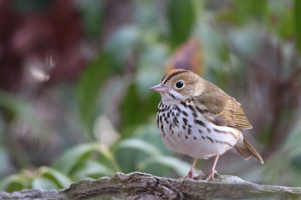 Ovenbird, April 2015