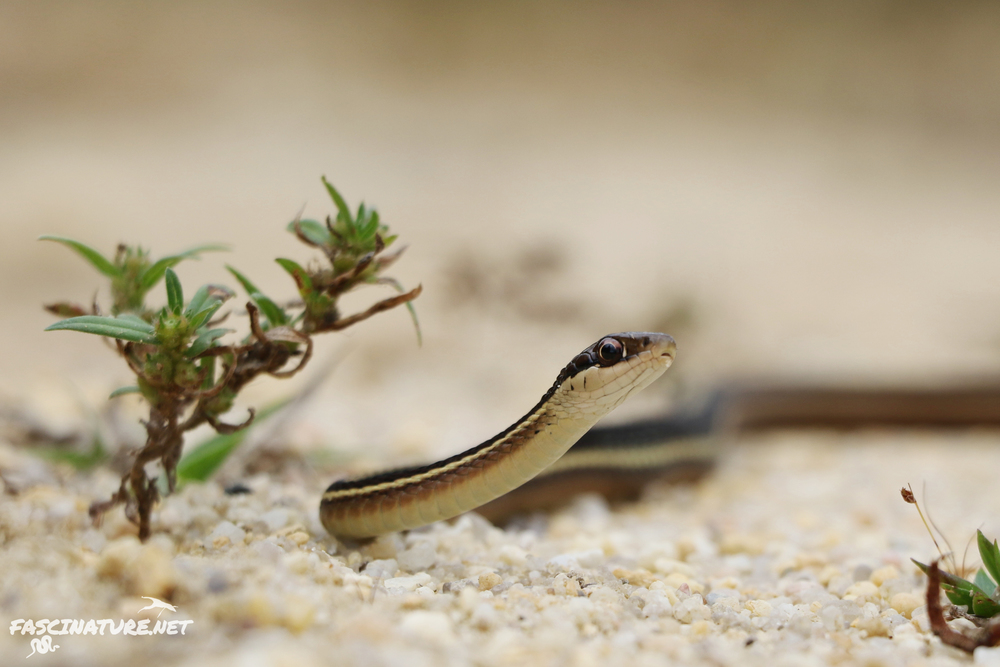 Eastern Ribbonsnake