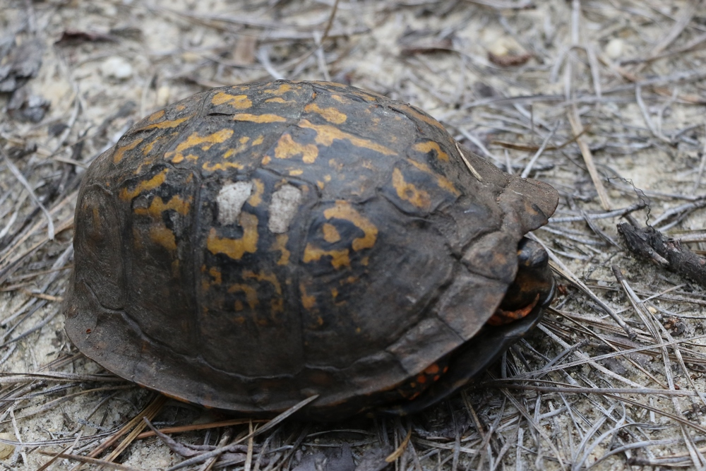 Eastern Box Turtle, New Jersey