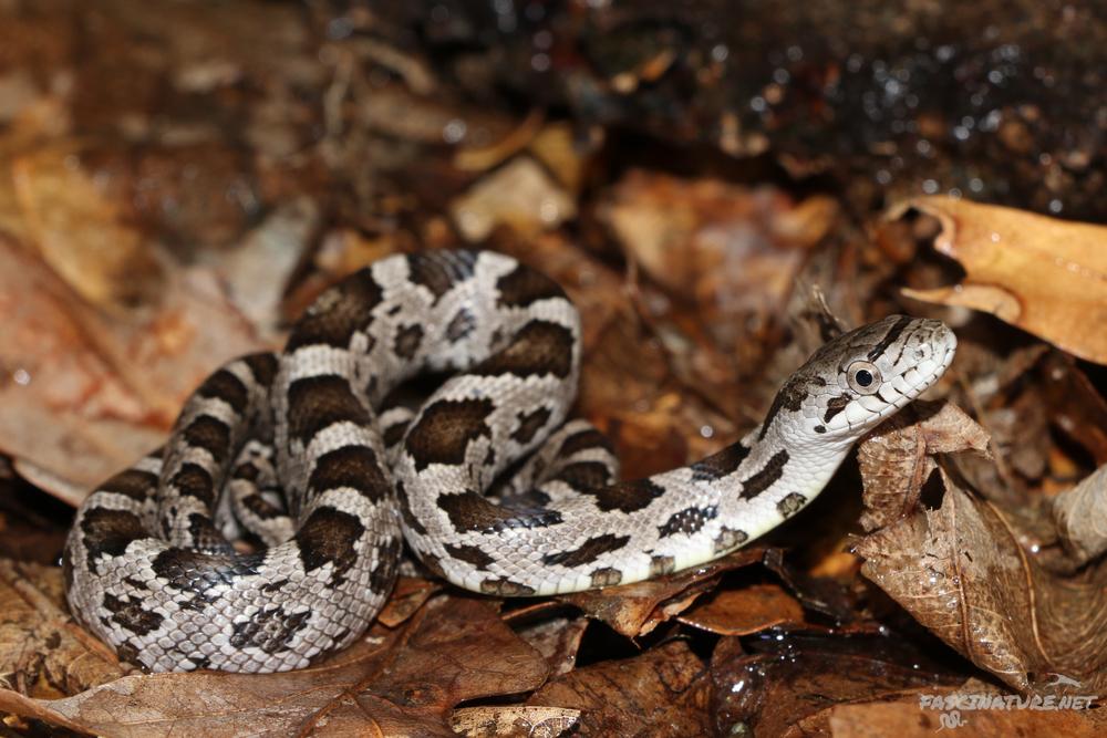 Black Ratsnake (Eastern Ratsnake) - Juvenile pattern