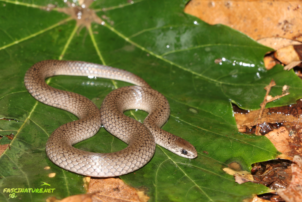 Smooth Earthsnake