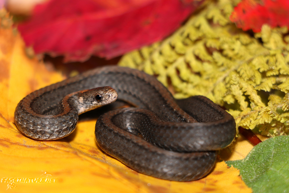 Another two-toned Northern Red-bellied Snake