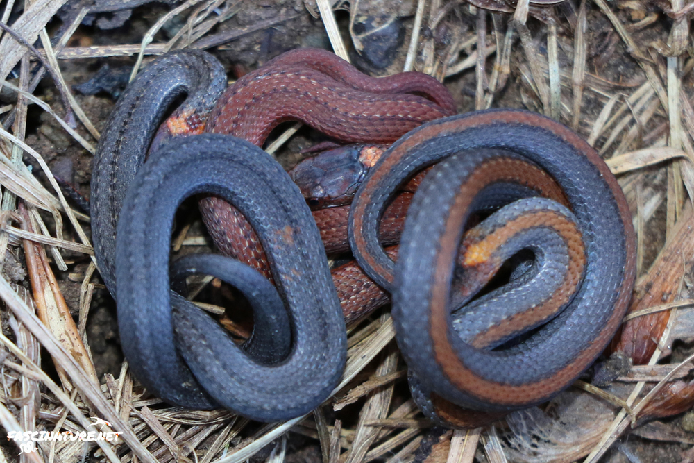 Three different varieties of Northern Red-bellied Snakes, as flipped.