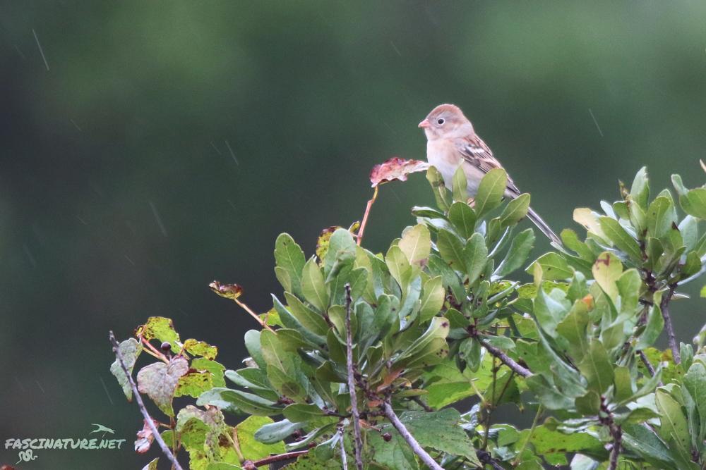 Field Sparrow in the rain