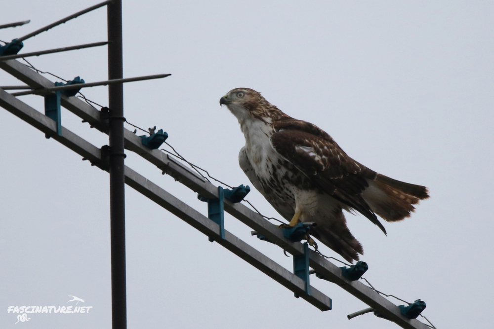 Red-tailed Hawk (note the gray skies at this point)