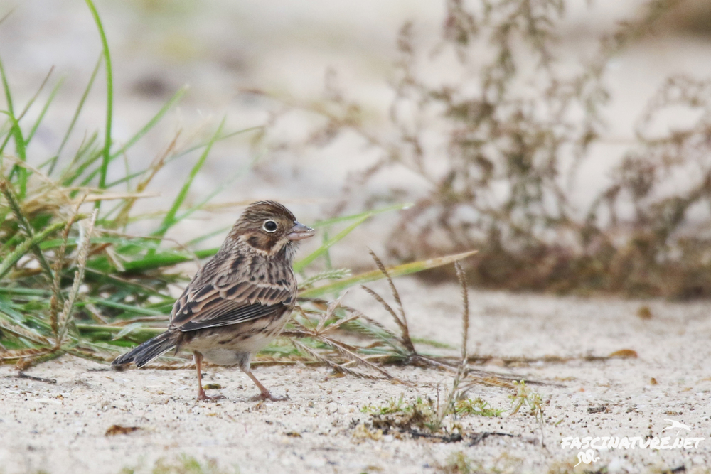 Vesper Sparrow - Bird #313 of the year!  ...life bird #299 for NJ.