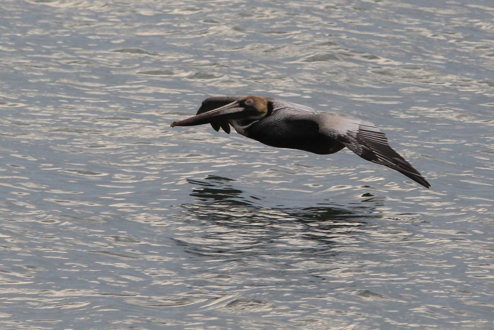 Brown Pelican - our Sunday bird was much further out