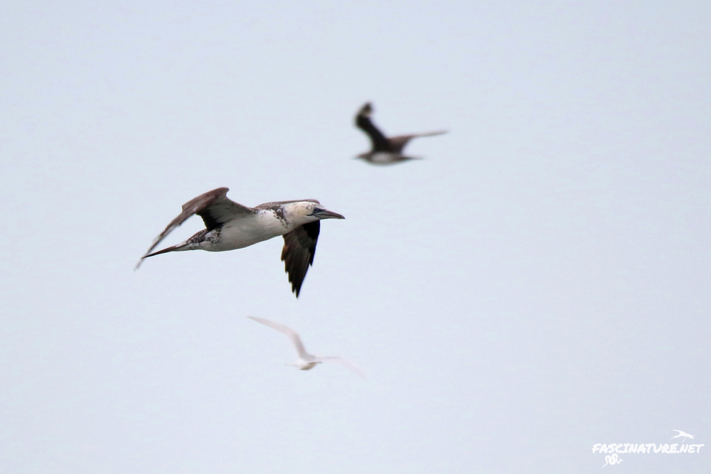 Northern Gannet with Parasitic Jaeger in background (upper right)