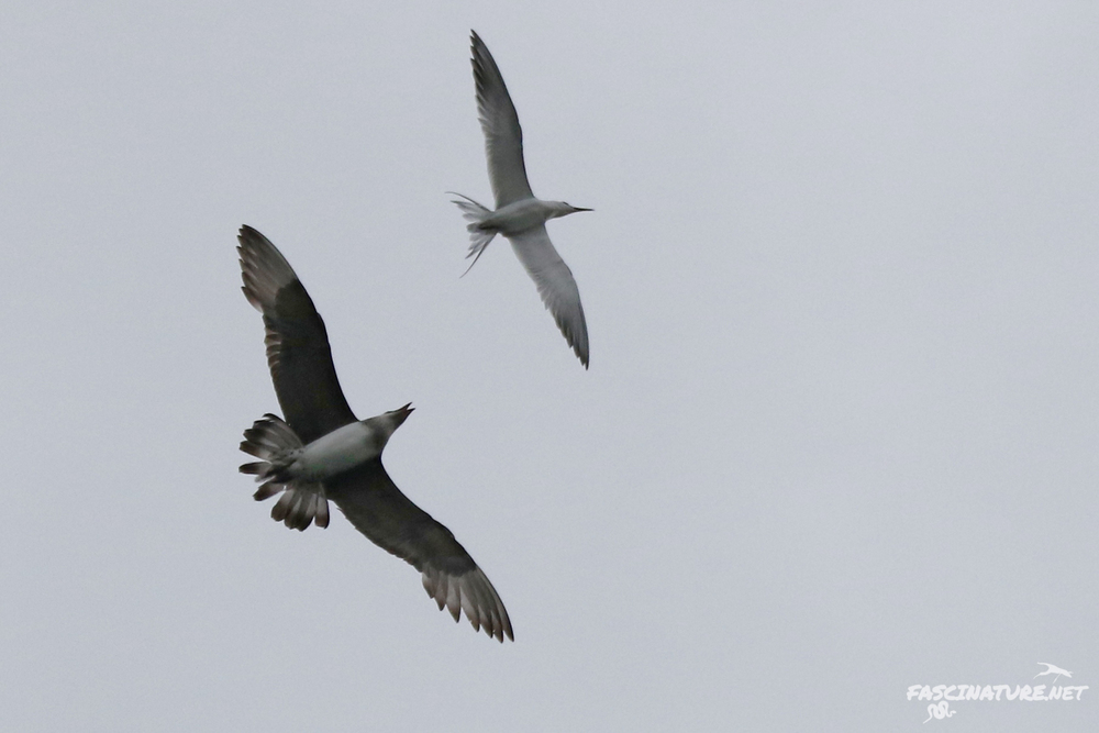 Parasitic Jaeger chasing a Forster's Tern