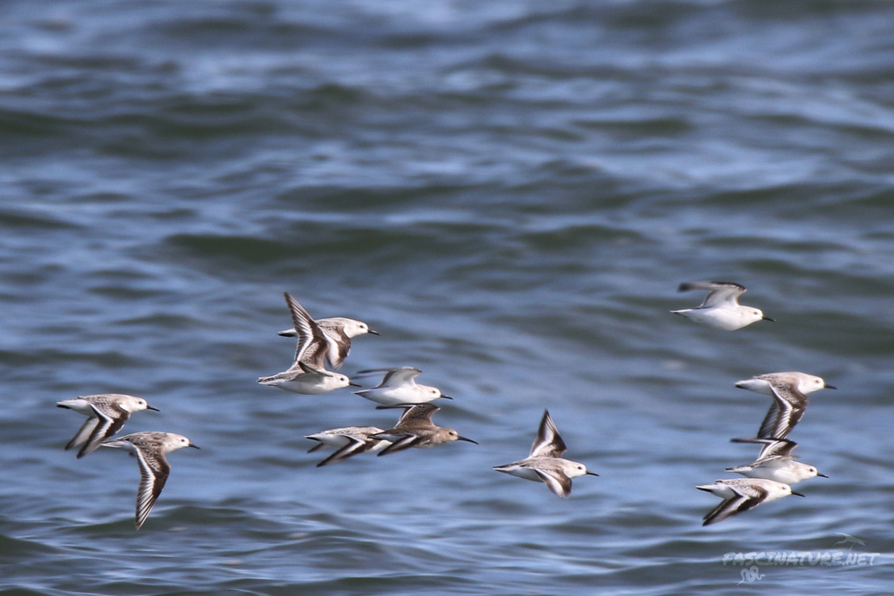 Sanderlings and Dunlin