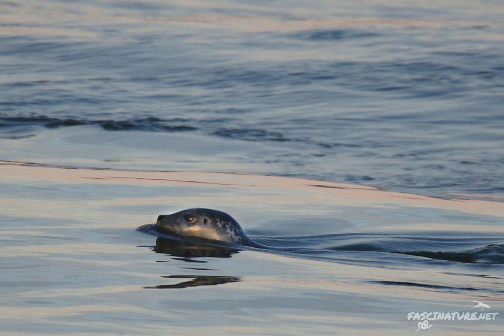 Harbor Seal seen in Barnegat Inlet.