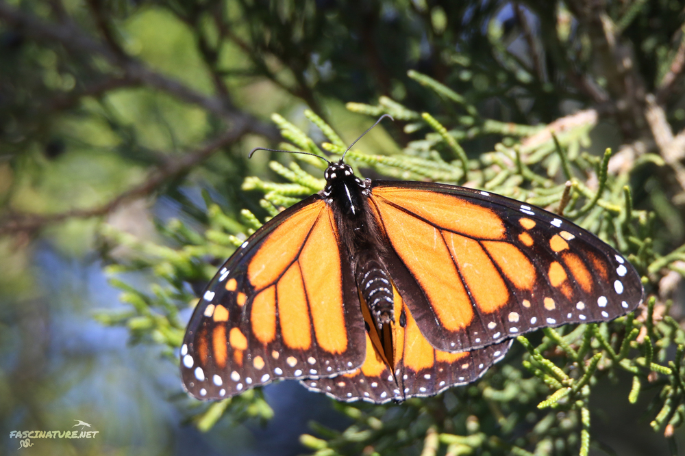 Monarch Butterfly found roosting in Cape May.