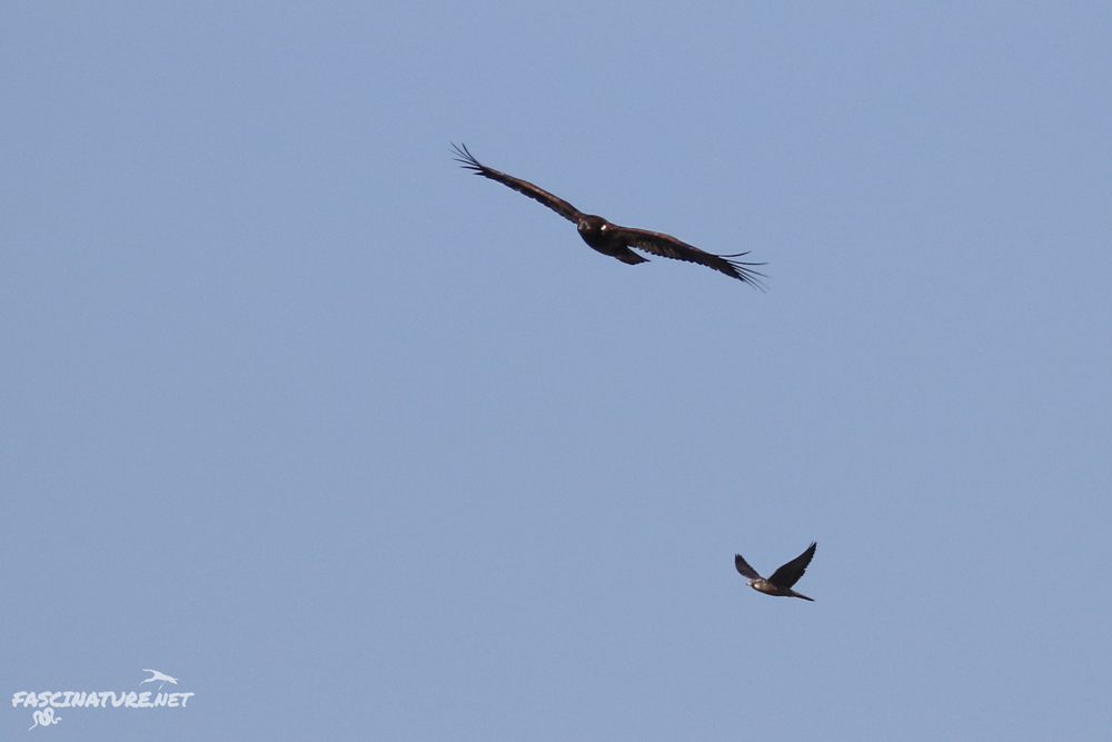 Juvenile Bald Eagle and Peregrine Falcon
