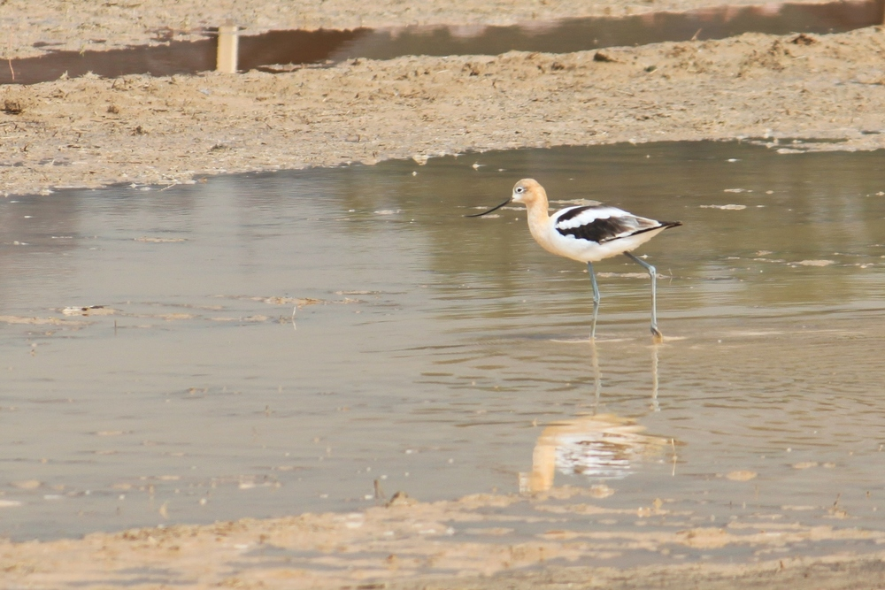 American Avocet - not from Brig as it wasn't close enough for any half-decent shot.