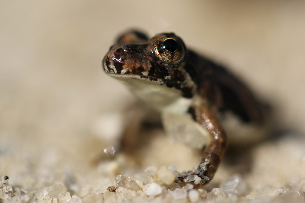 Northern Cricket Frog - eye detail
