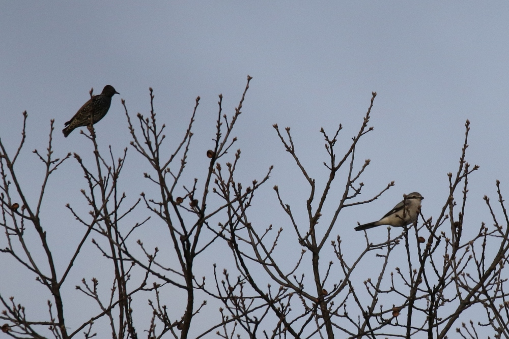 European Starling and Northern Shrike comparison
