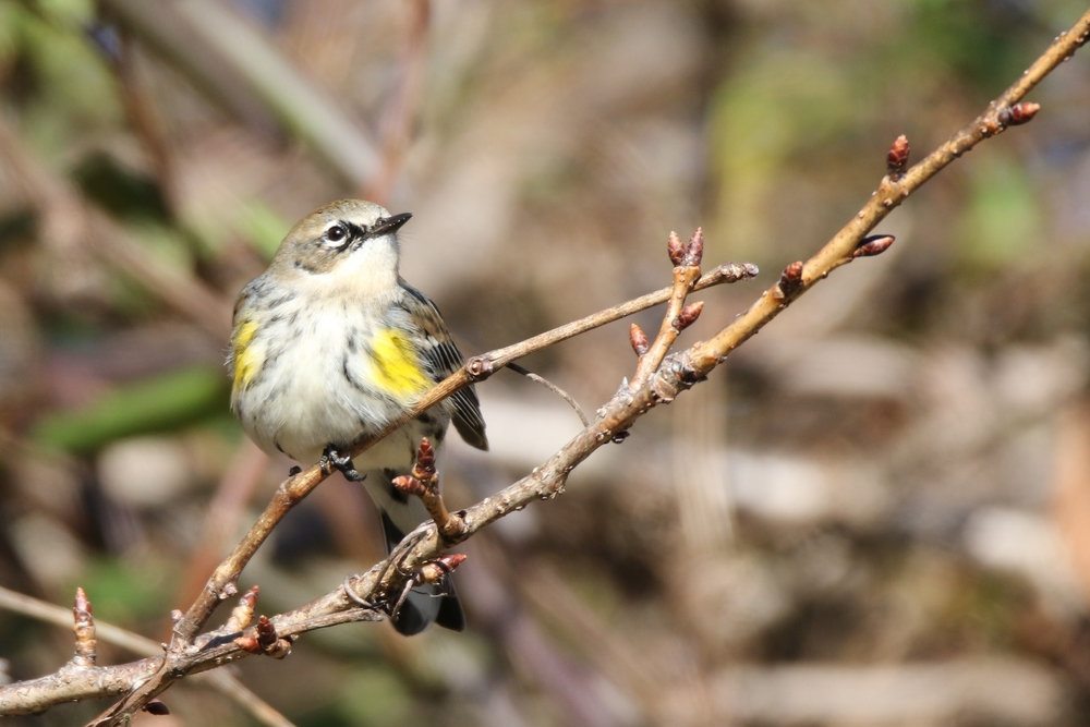 Yellow-rumped Warbler - there's more than a dozen here.